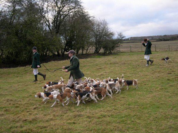 Falkavadászat beagle kutyákkal