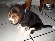 Piff beagle kutya