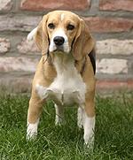 Peggy beagle
