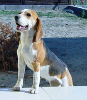 Füles beagle