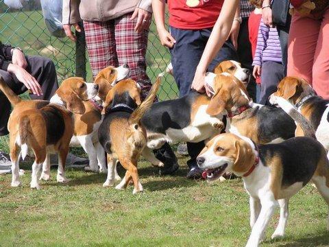 Orfűi beagle találkozó, 2005