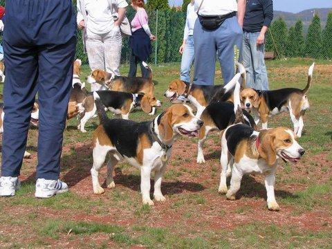 Beagle Kutya Találkozó Orfűn