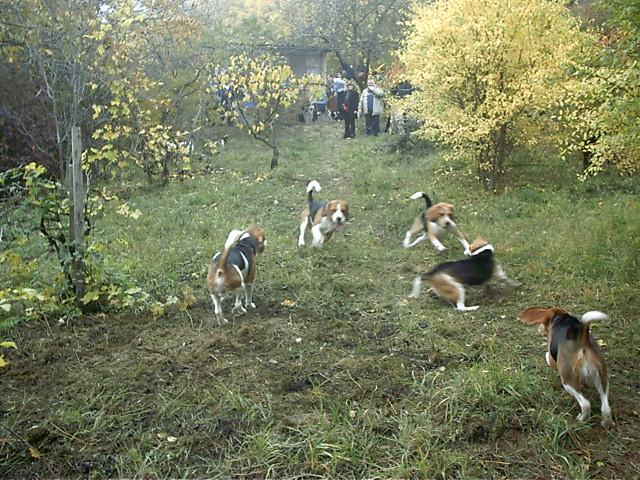 Beagle Találkozó Makkosmárián