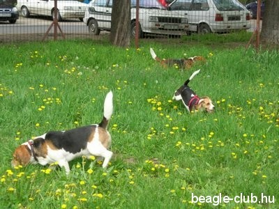 Debreceni Beagle Találkozó