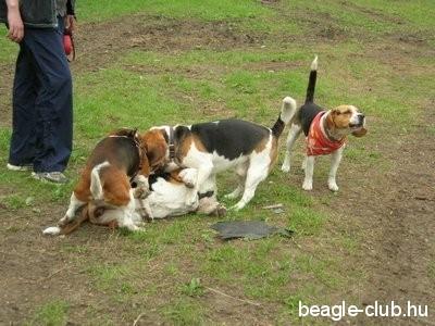 Debreceni Beagle Találkozó sok beagle kutya