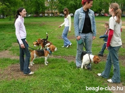 Debreceni Beagle Találkozó beagle kutya