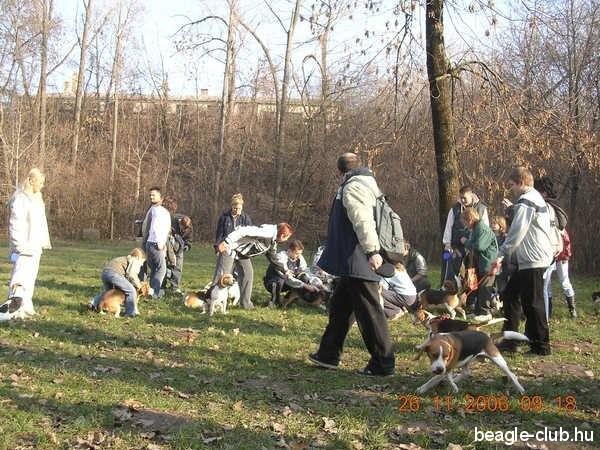 Dunaújvárosi Beagle Találkozó, sok beagle kutya