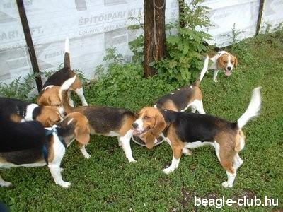 Miskolci beagle találkozón sok kutya játszik