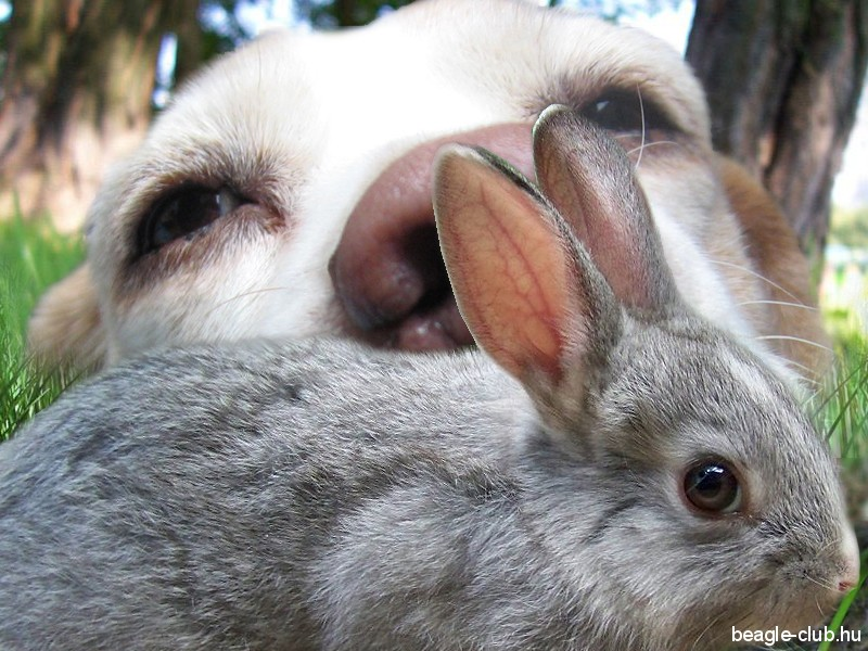 Nyúlra vadászó beagle