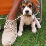 Cipőfűzőt a beagle-nek!