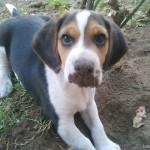 Maszatos beagle