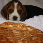 Semmi beagle