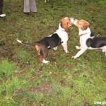 Balatonfüredi beagle találkozó, 2007.03.07.