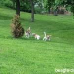Szombathelyi beagle találkozók