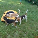 Balatonfüredi Beagle Találkozók, 2007.06.09.