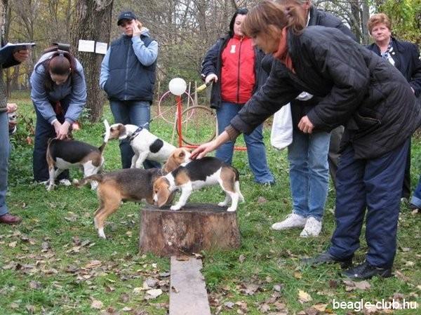 Balatonfüredi beagle találkozó