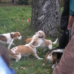 Balatonfüredi beagle találkozó, 2007.11.03.
