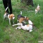 Balatonfüredi beagle találkozó, 2007.05.10.