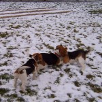 Sárvári beagle találkozó, 2007.12.28.