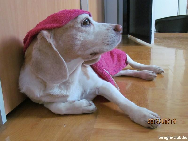 beagle-husites-04