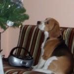 Karácsonyfa skubizása @pongo