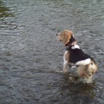 Buksi beagle a Sajón