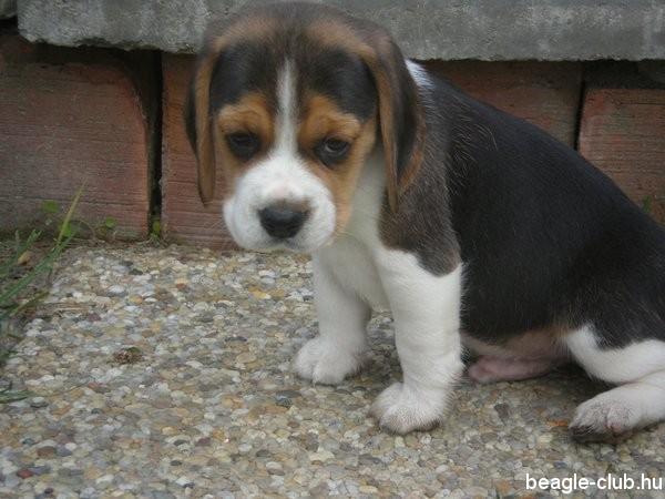 Beagle Rudi