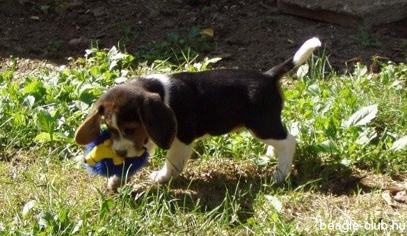 Tricolor kölyük beagle kutya