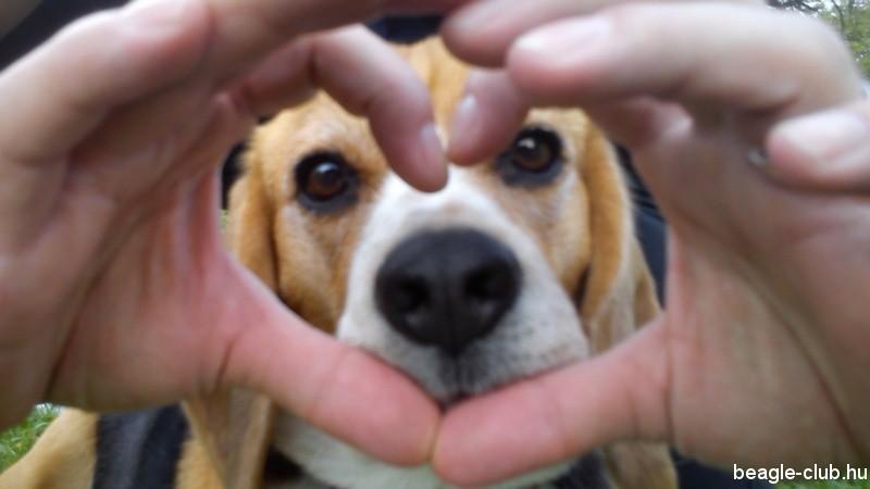 Szamóca beagle Selfie