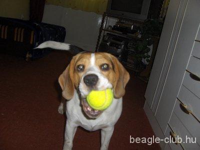 Maya tricolor beagle kutya