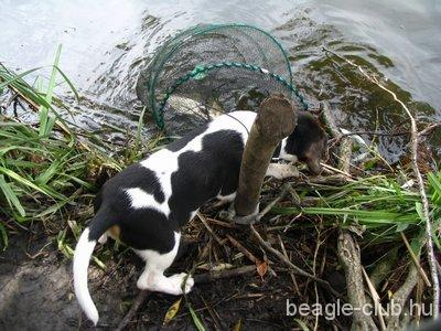 Maya beagle