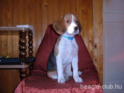 Bigi beagle