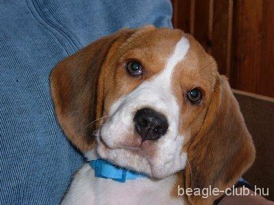 Bigi tricolor beagle kutya