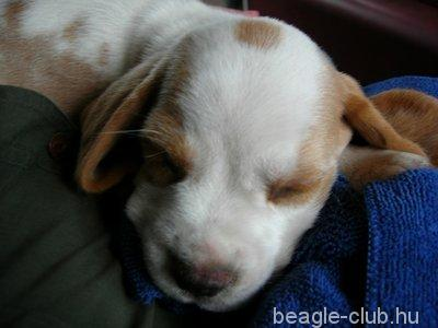 Határszéli Huncut Kim beagle kutya