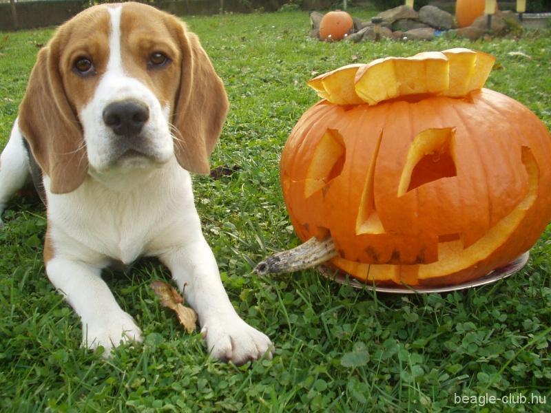 Halloween beagle tök