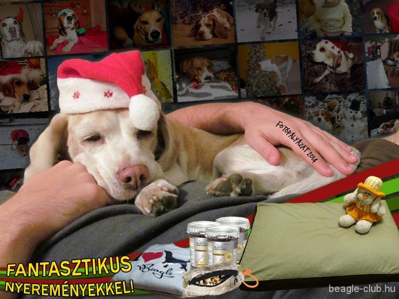Karácsonyi beagle fotópályázat 2014