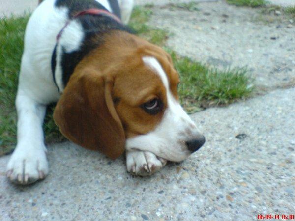 Alma beagle