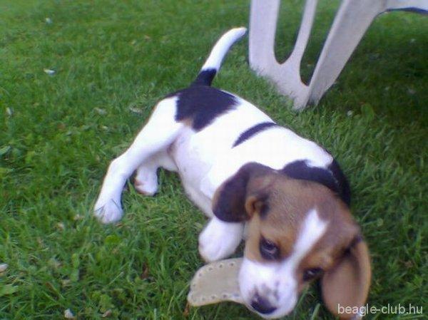 Alma tricolor beagle kutya