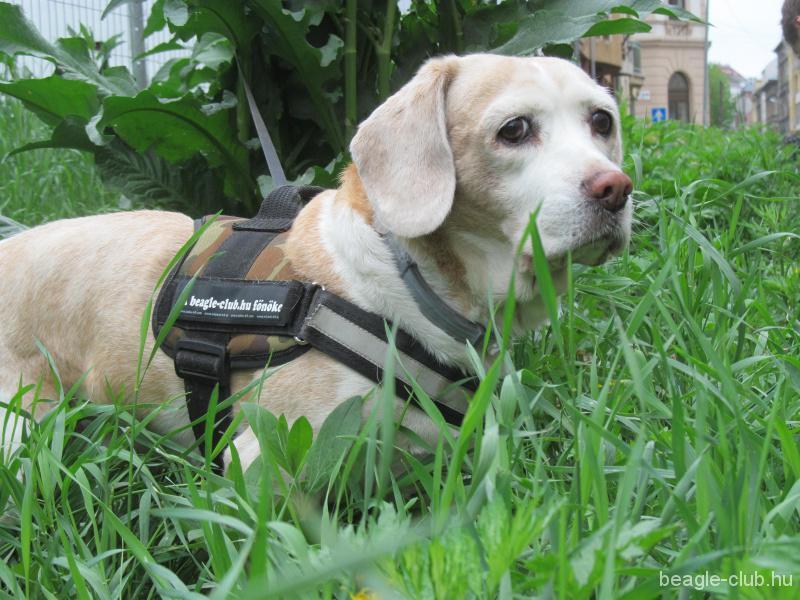 Beigli beagle kutya