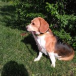 Pötyi beagle kutya