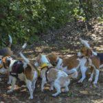 Beagle Camping