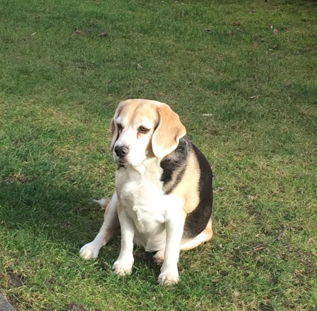Stella beagle