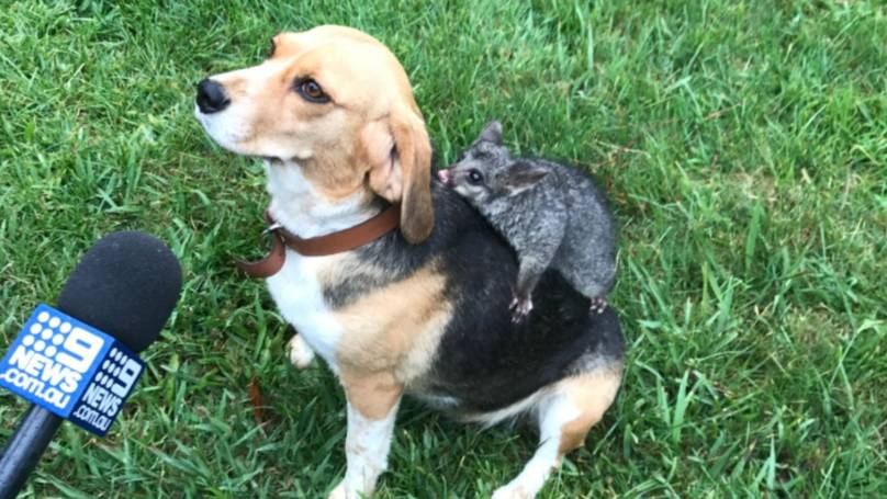 Molly, a beagle