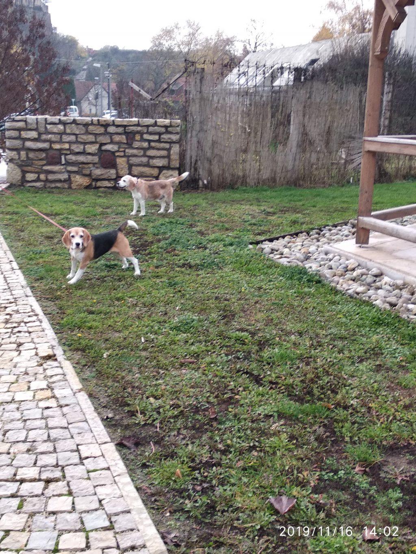 Beagle korzó