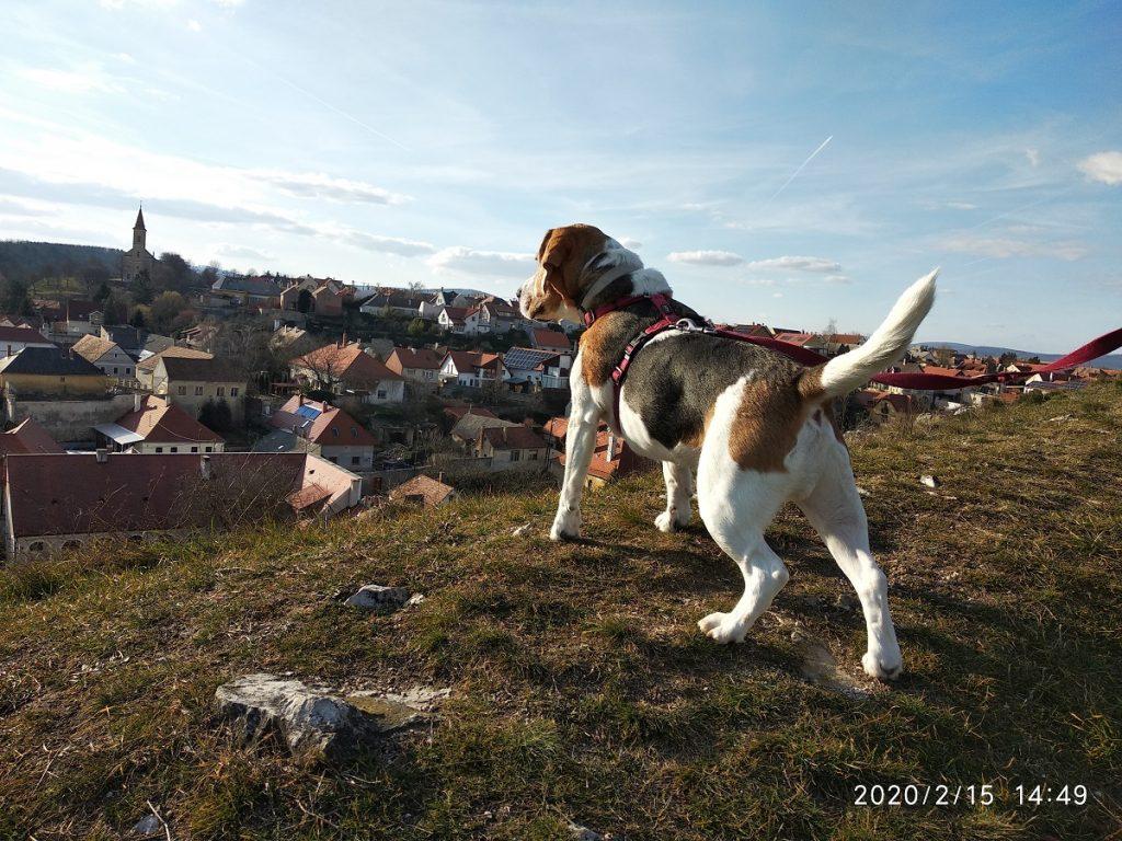5. Beagle Korzó