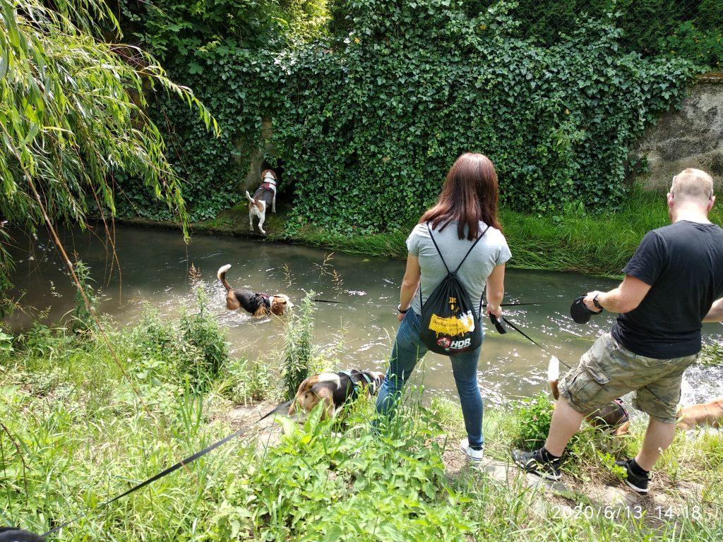 6. Beagle Korzó Séd patak