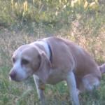 Porckorong kopás beagle kutyáknál csoport logója