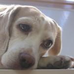 Epilepszia beagle kutyáknál csoport logója