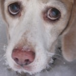 Beagle Pain csoport logója